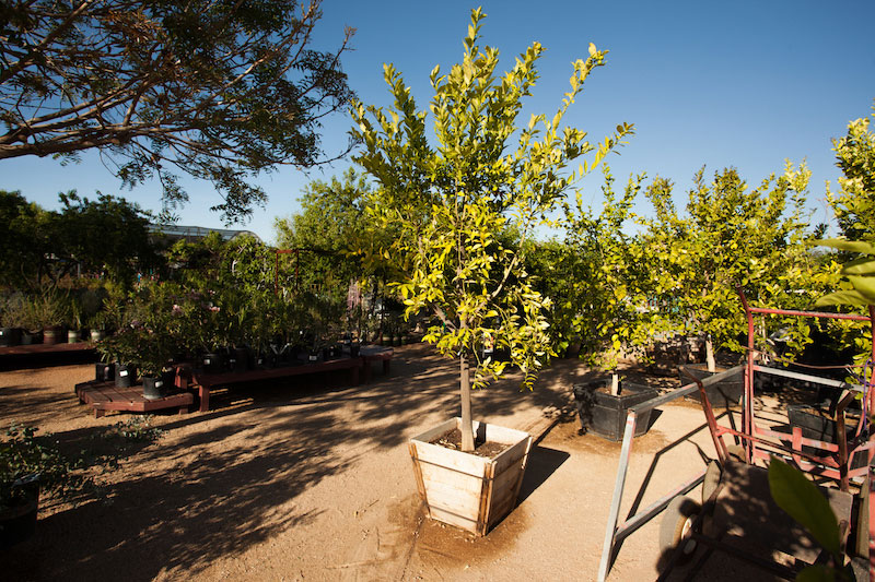 Tree Shrubs Civano Nursery Tucson