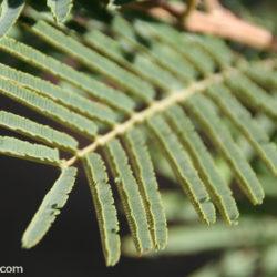 Acacia berlandieri