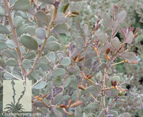 Leather leaf acacia acacia craspedocarpa civano nursery for Garden solutions catalog