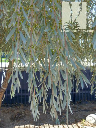 Weeping Acacia Acacia Pendula Civano Nursery Tucson Plant Nursery
