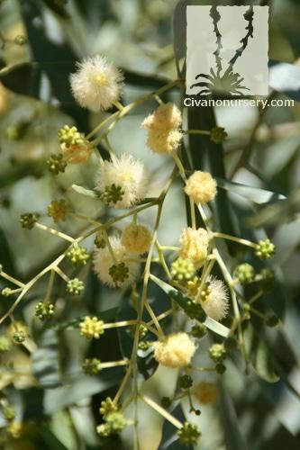 Willow Acacia Acacia Salicina Civano Nursery Tucson Plant Nursery