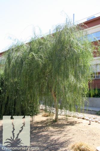 Palo Blanco Acacia Willardiana Civano Nursery