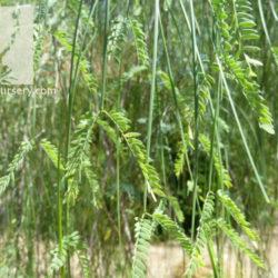 Acacia willardiana