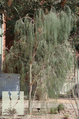 palo blanco  u2013 acacia willardiana  u2013 civano nursery