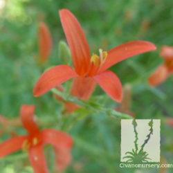 Anisicanthus quadrifidus wrightii