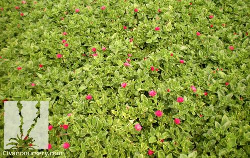 Maya Hearts And Flowers Aptenia Cordifolia Maya