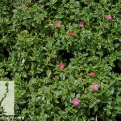 Aptenia cordifolia 'Maya'