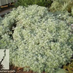 Artemisia absynthium 'Powis Castle'