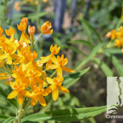 Asclepias curassavica 'Silky Gold'