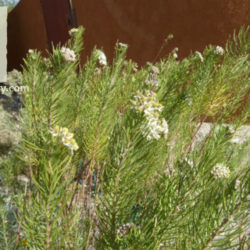 Asclepias linaria