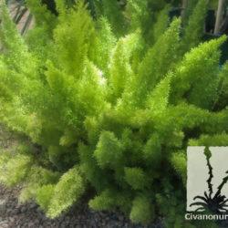 Asparagus densiflorus 'Myers'