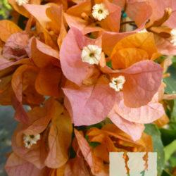 Bougainvillea 'Rainbow Gold'