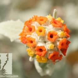 Buddleia marrubifolia