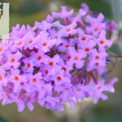 Buddleja davidii 'Purple'