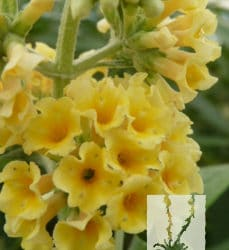 Buddleja davidii 'Yellow'