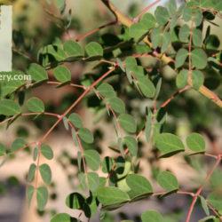 Caesalpinia cacalaco