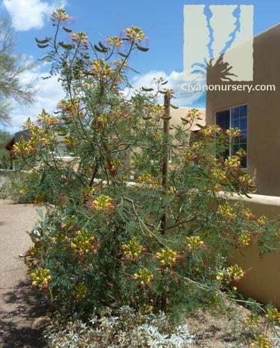 Yellow Bird Of Paradise Caesalpinia Gilliesii Civano Nursery