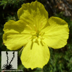 Calylophus berlandieri 'Tucson Sun'