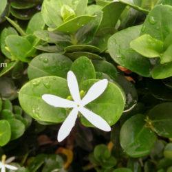 Carissa macrocarpa 'Boxwood Beauty'