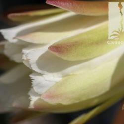 Cereus peruvianus