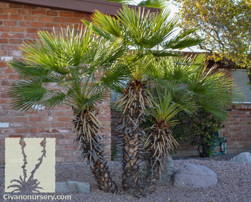mediterranean fan palm chamaerops humilis civano nursery. Black Bedroom Furniture Sets. Home Design Ideas