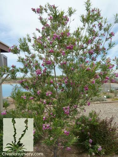 Bubba Desert Willow Chilopsis Linearis Bubba Civano Nursery