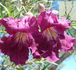 Chilopsis linearis 'Sweet Katie'