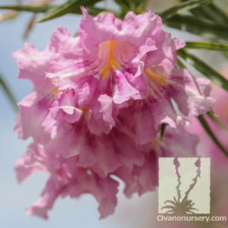 Chilopsis linearis 'Warren Jones'