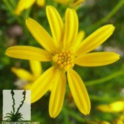 Chrysactinia mexicana