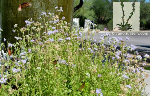 gregg u2019s mist flower  u2013 conoclinium greggii  u2013 civano nursery