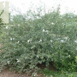 Cordia parvifolia