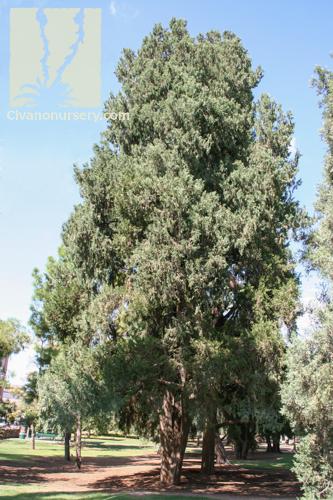 Arizona Cypress Cupressus Arizonica Civano Nursery