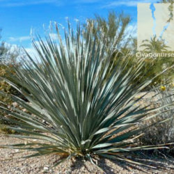 Desert Spoon Dasylirion Wheeleri Civano Nursery