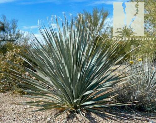 Desert Spoon – Dasylirion wheeleri – Civano Nursery