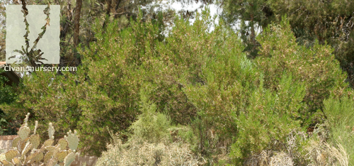 Green Hopseed Bush Dodonaea Viscosa Civano Nursery
