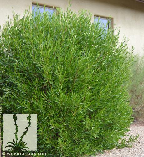 green hopseed bush  u2013 dodonaea viscosa  u2013 civano nursery