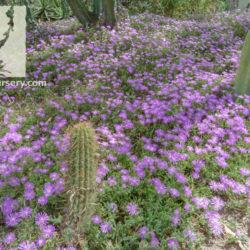 Drosanthemum hispidum