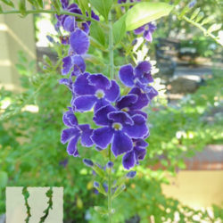 Duranta erecta 'Sweet Memories'