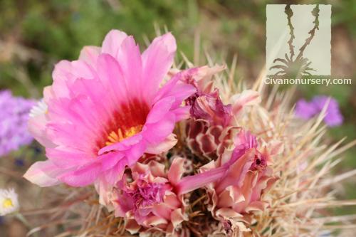 engelmann u2019s hedgehog  u2013 echinocereus engelmannii  u2013 civano
