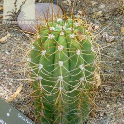 Echinopsis terscheckii