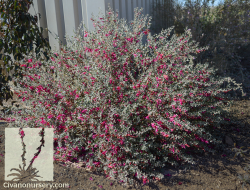 List Of Synonyms And Antonyms Of The Word Eremophila Plant