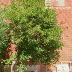Erythrina flabelliformis