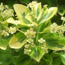 Euonymus japonicus 'Aureo-marginatus'
