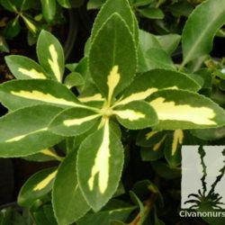 Euonymus japonicus 'Aureo-variegatus'