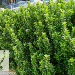 Euonymus japonicus 'Microphyllus'