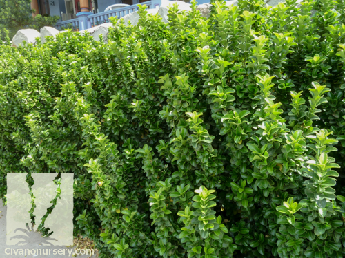 boxleaf euonymus euonymus japonicus microphyllus civano nursery. Black Bedroom Furniture Sets. Home Design Ideas