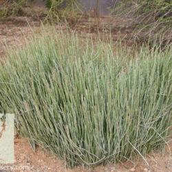 Euphorbia antisiphilitica