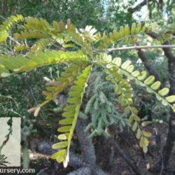 Eysenhardtia orthocarpa