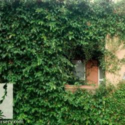 Ficus pumila