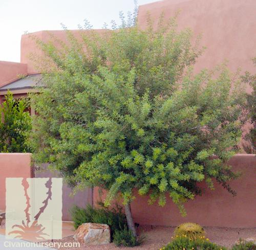 Shade Trees Arizona